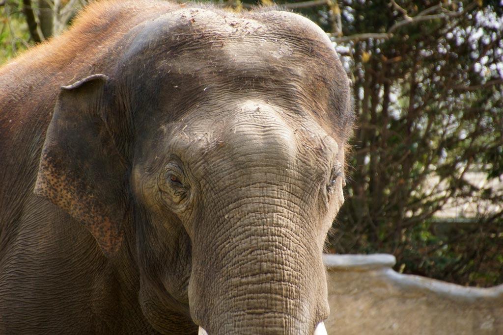 tierpark-hagenbeck-elefantenkoenig-bulle-gajendra-gesicht-hamburg-2013-andres-lehmann