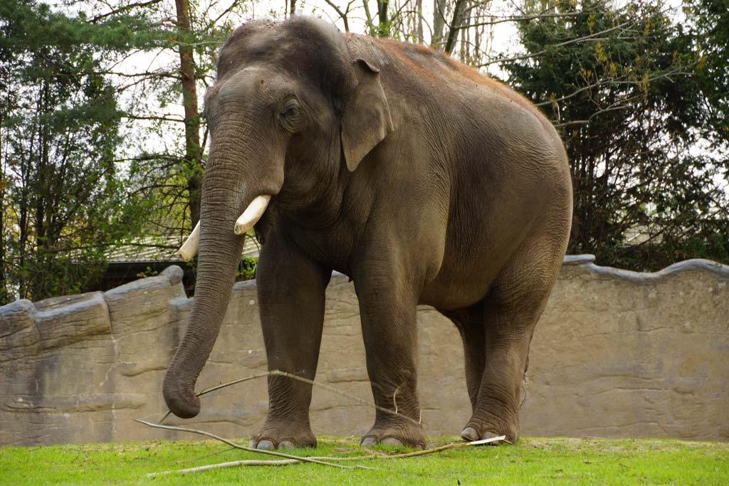tierpark-hagenbeck-elefantenkoenig-bulle-gajendra-stoecke-hamburg-2013-andres-lehmann