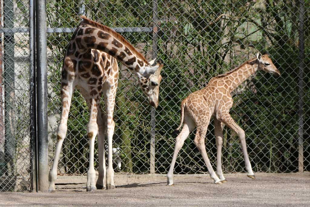 giraffenkalb-nakuru-tierpark-hagenbeck-aussengehege-hamburg-2015-andres-lehmann