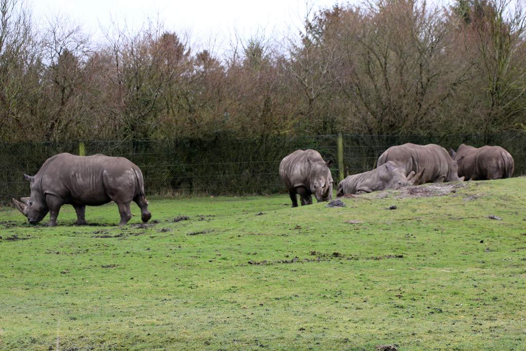 givskud-zoo-daenemark-breitmaulnashorn-aussengehege-2015-andres-lehmann