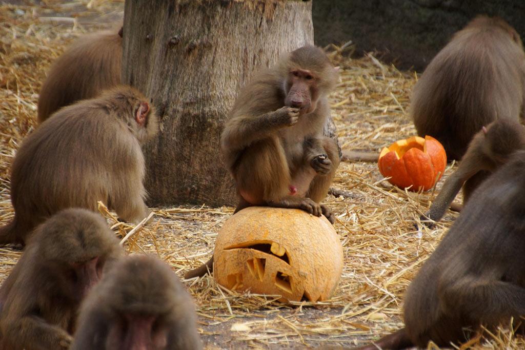 halloween-kuerbisse-mantelpaviane-tierpark-hagenbeck-ehrenplatz-hamburg-2013-andres-lehmann