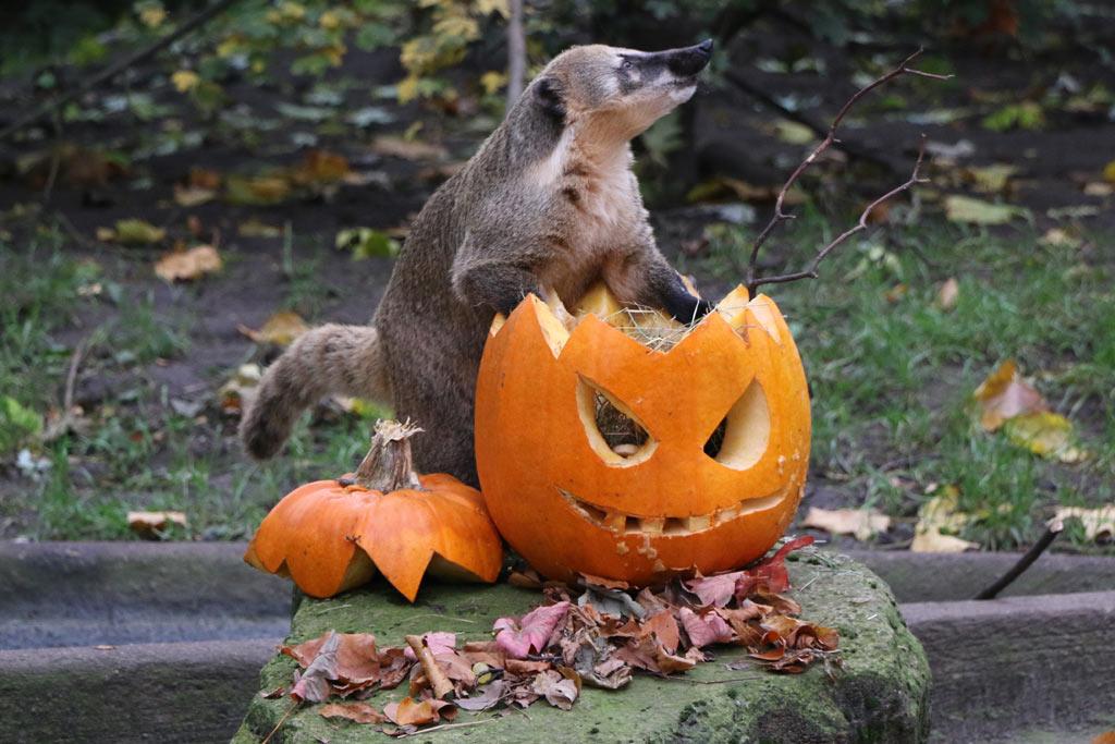 nasenbaeren-halloween-ausblick-kuerbiss-tierpark-hagenbeck-2015-ukonio-andres-lehmann