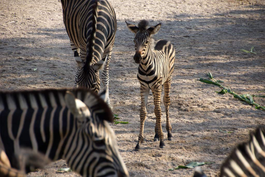 fohlen-zebra-herde-tierpark-hagenbeck-2012-andres-lehmann
