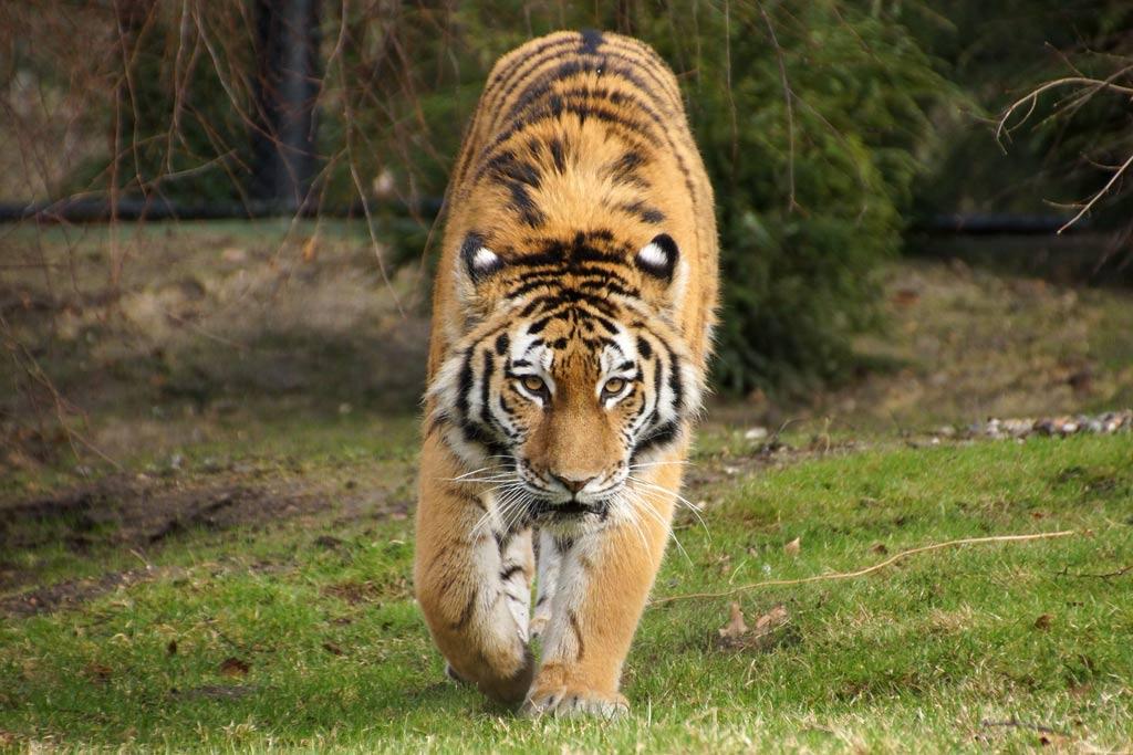 tigerdame-maruschka-neues-gehege-tierpark-erkundung-hagenbeck-2014-andres-lehmann
