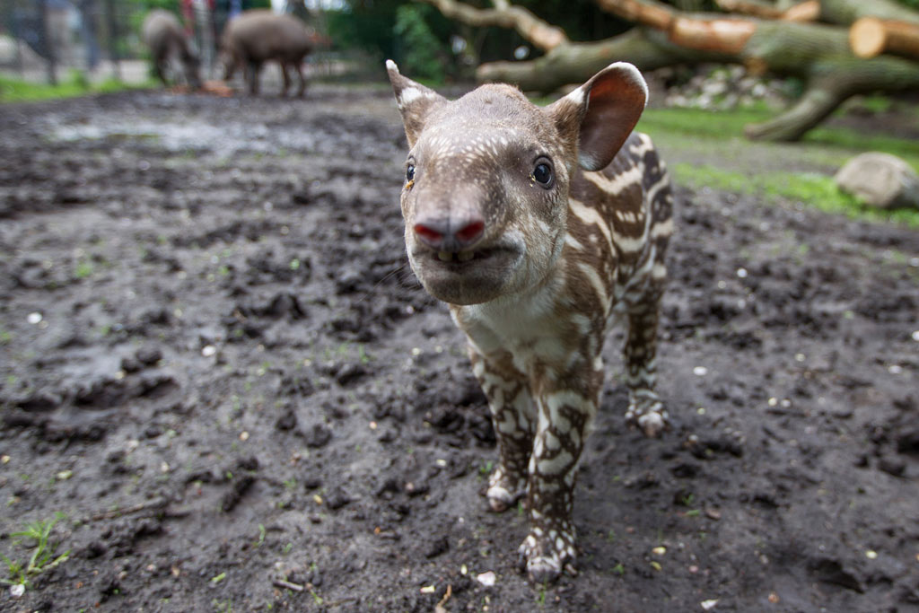 tapir-baby-tierpark-hagenbeck-toni-gunner