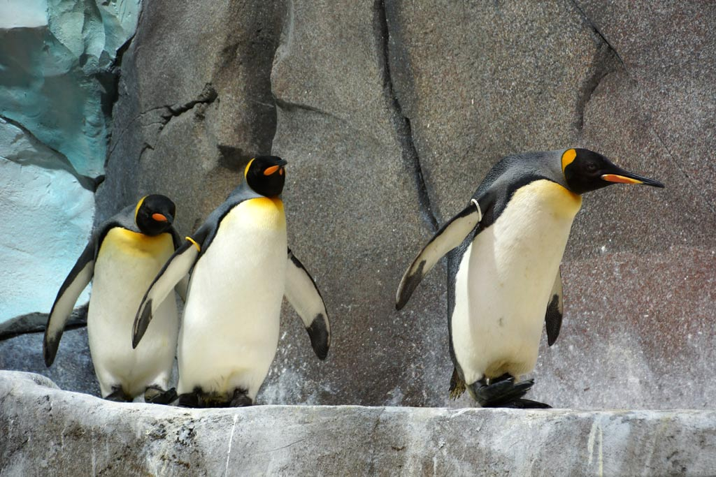pinguine-reihe-eismeer-tierpark-hagenbeck-2012-andres-lehmann