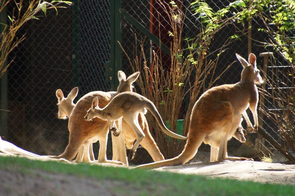 kaenguru-huepfer-nachwuchs-australische-steppe-tierpark-hagenbeck-2012-andres-lehmann
