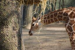 klein-tamu-giraffe-nachwuchs-tierpark-hagenbeck-2013-andres-lehmann