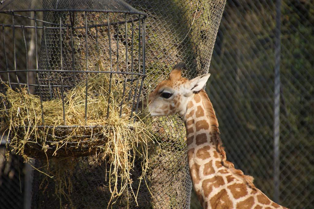tamu-giraffe-nachwuchs-fuetterung-aussengehege-savanne-tierpark-hagenbeck-16-04.2013-andres-lehmann