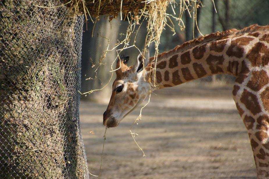 tamu-giraffe-nachwuchs-tierpark-hagenbeck-16-04-2013-andres-lehmann