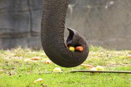 gajendra-elefantenbulle-tierpark-hagenbeck-2013-andres-lehmann