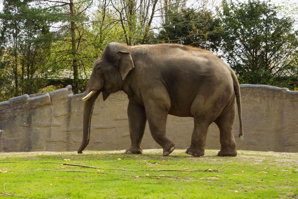 tierpark-hagenbeck-elefantenkoenig-bulle-gajendra-wiese-hamburg-2013-andres-lehmann