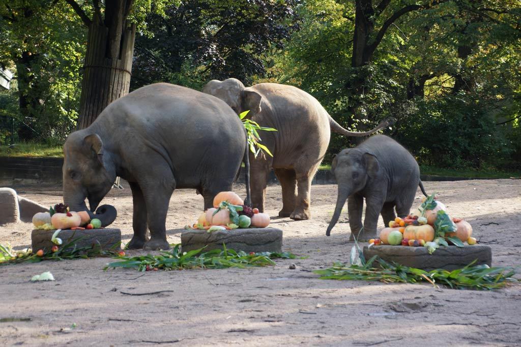 tierpark-hagenbeck-herbstspaziergang-elefanten-kuerbisse-fruehstueck-2013-andres-lehmann