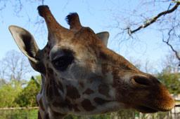 klein-tierpark-hagenbeck-giraffe-kopf-gehege-2014-andres-lehmann