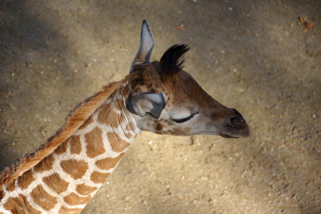tierpark-hagenbeck-giraffe-kalb-madiba-draufsicht-2014-andres-lehmann