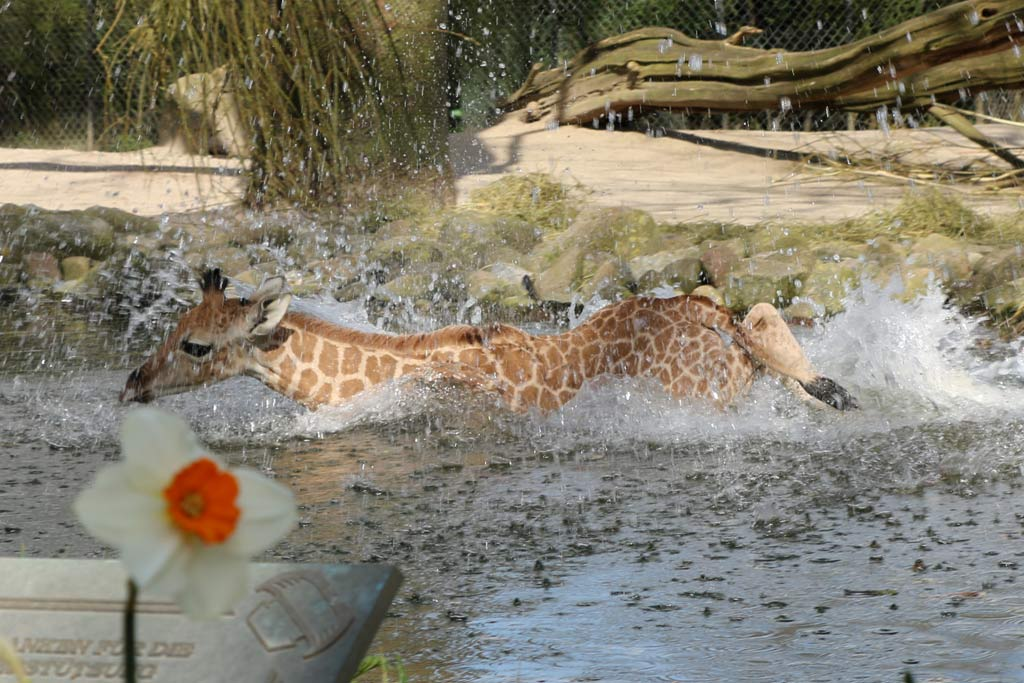 giraffenkalb-nakuru-tierpark-hagenbeck-sprung-wasser-baden-hamburg-2015-andres-lehmann