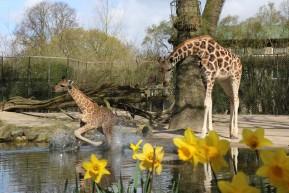 giraffenkalb-nakuru-tierpark-hagenbeck-sprung-wasser-hamburg-2015-andres-lehmann