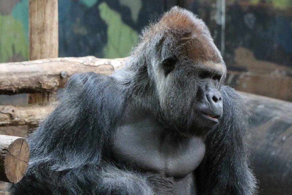 givskud-zoo-daenemark-gorilla-2015-andres-lehmann