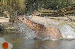 klein-giraffenkalb-nakuru-tierpark-hagenbeck-sprung-wasser-hamburg-2015-andres-lehmann