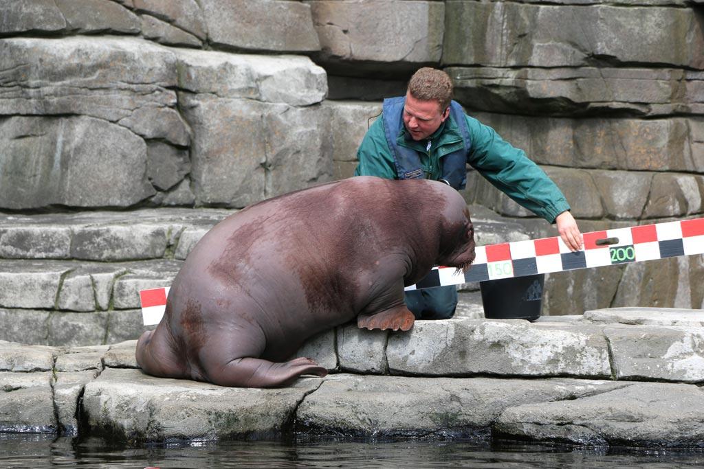 tierpark-hagenbeck-inventur-walross-jungtier-messen-hamburg-2015-andres-lehmann
