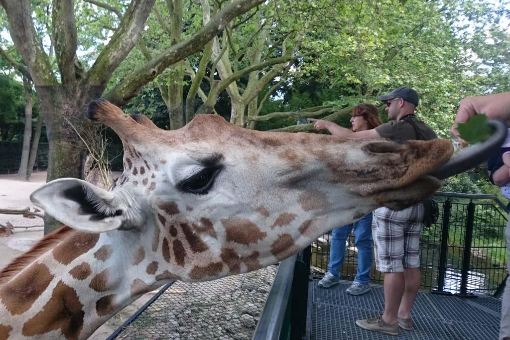 giraffenfuetterung-tierpark-hagenbeck-kinderfest-2015-katharina-kubica