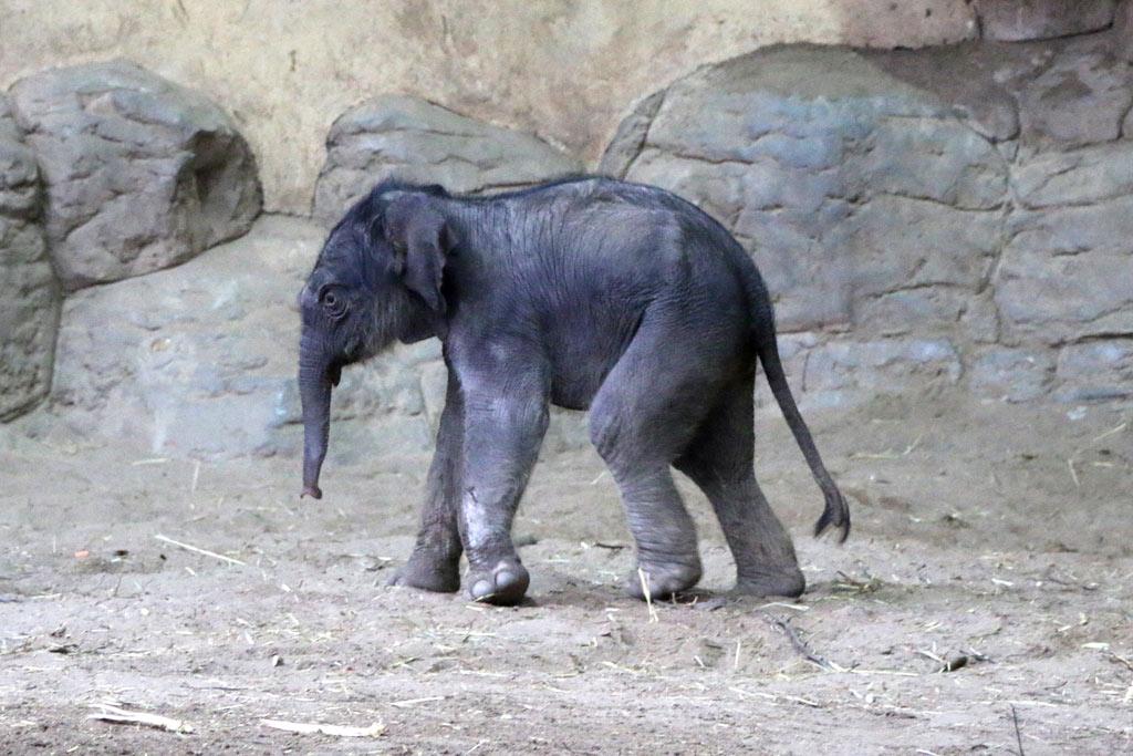 neues-elefanten-kalb-tierpark-hagenbeck-hamburg-2016-andres-lehmann