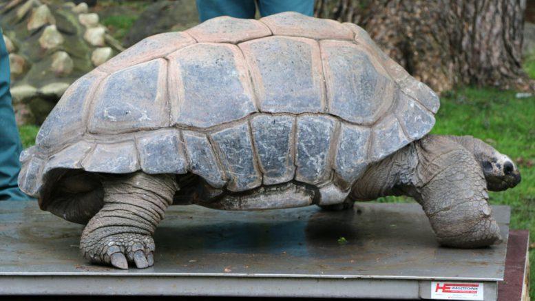 Auch so eine Riesenschildkröte muss mal auf die Waage... | © Andres Lehmann / ukonio.de