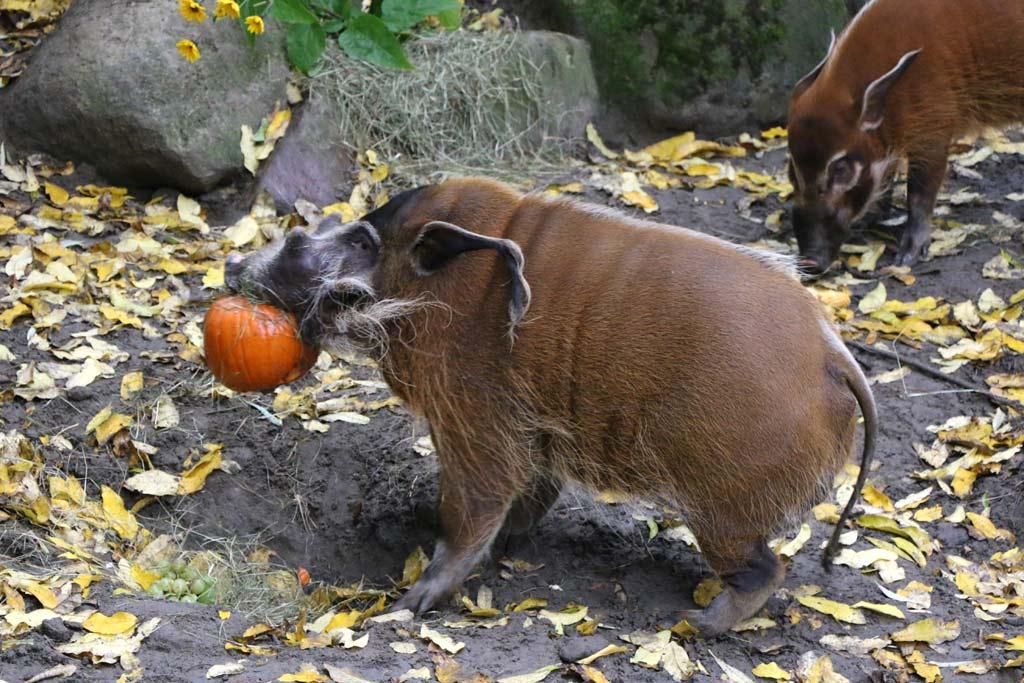 Ein Pinselohrschwein und seine Beute | © Andres Lehmann / ukonio.de