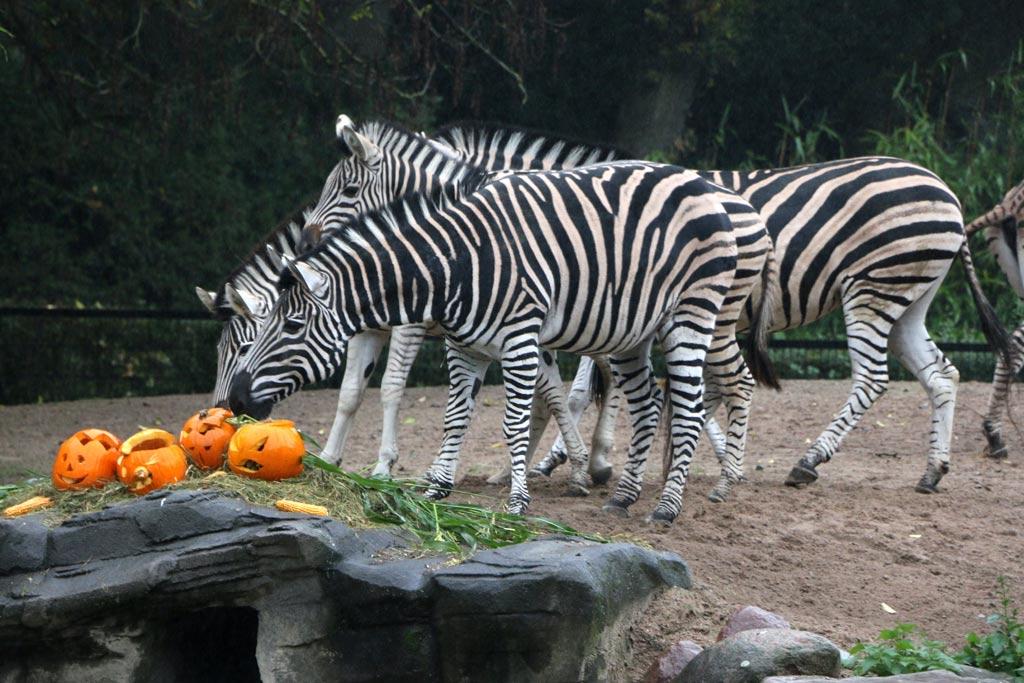 Und auch die Zebras ließen sich das Spektakel nicht entgehen. | © Andres Lehmann / ukonio.de